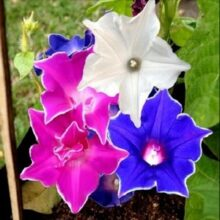 Morning Glory Star Mix Creeper Flower seed (IMPORTED SEEDS)