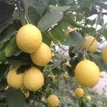 China Lemon Plant (2feet)