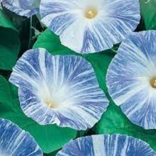 Morning Glory Flying Saucer Creeper Flower (IMPORTED SEEDS)