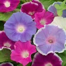Morning Glory Early Call Mix Creeper Flower seed (IMPORTED SEEDS)