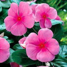 Vinca Flower Seeds F1 Punch