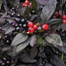 Black Pearl Pepper Seeds F1 Vegetable Seeds