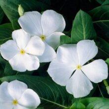 Vinca Flower Seeds F1 White