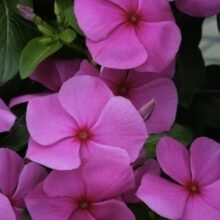 Vinca Flower Seeds F1 Grape