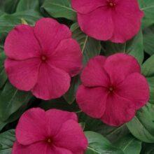 Vinca Flower Seeds F1 Carmine