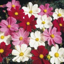 Cosmos Flower Seeds Mix F1