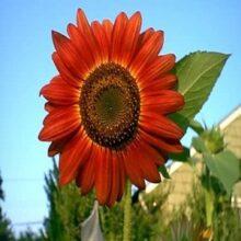 Sunflower Red Flower seeds