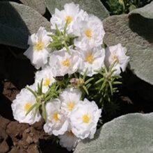 Portulaca Flower Seeds Sundial Variety F1 White