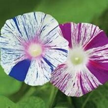 Morning Glory Arlequin Flower Creeper Seeds