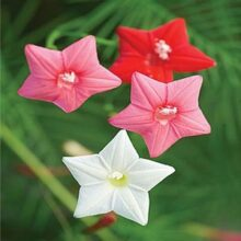 Cypress Flower seeds Star Flower Creeper Mix