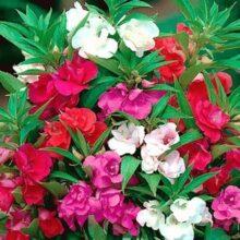 Balsam Flower Seed F1