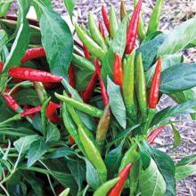 Thai Chilli F1 Vegetable Seeds