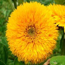 Sunflower Teddy Bear Flower seeds
