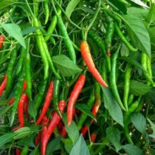 Green Chilli F1 Long Vegetable Seeds