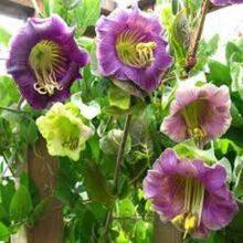 Cobaea Scandens Seeds IMPORTED