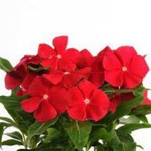 Vinca Flower Seeds F1 Red