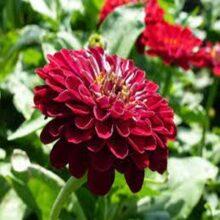 Zinnia Dark Red Flower Seeds