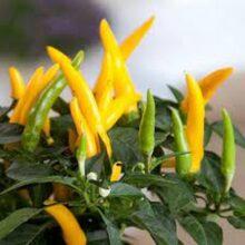 Ornamental Pepper Yellow Seeds Vegetable Seeds