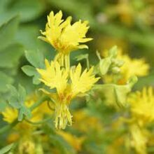 Canary Yellow Flower Creeper Seeds