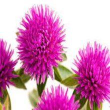 Gomphrena Pink Flower Seeds F1