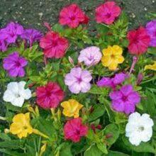 Mirabills Jalapa Flower Seeds IMPORTED