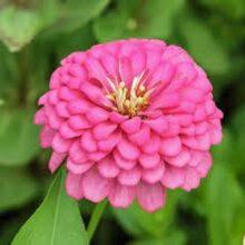 Zinnia Pink Flower Seeds