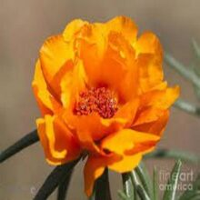 Portulaca Flower Seeds Sundial Variety F1 Gold