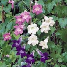 Asarina Flower Seeds IMPORTED