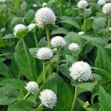Gomphrena White Flower Seeds F1