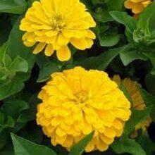 Zinnia Yellow Flower Seeds