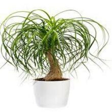 Pony Tail palm seeds IMPORTED