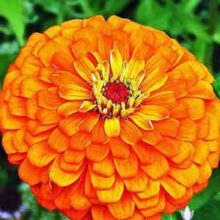 Zinnia Orange Flower Seeds