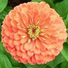 Zinnia Salmon Flower Seeds