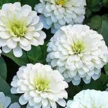 Zinnia White Flower Seeds