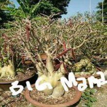 Adenium Arab Big Mama Seeds Mix