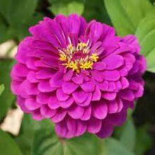 Zinnia Purple Flower Seeds