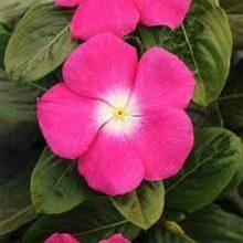 Vinca Flower Seeds F1 Rose