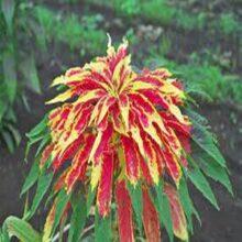 Amranthus Tri Colour Seeds