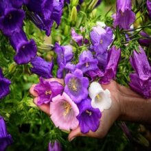 Canterbury Bells Flower seeds IMPORTED