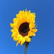 Sunflower Yellow Flower seeds