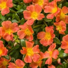 Portulaca Flower Seeds Sundial Variety F1 Tangerine