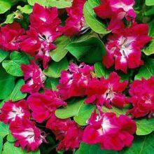 Morning Glory Ruffled Red Flower Creeper Seeds