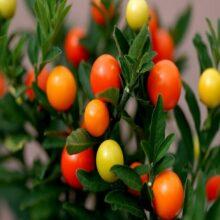 Ornamental Pepper Round Seeds Vegetable Seeds