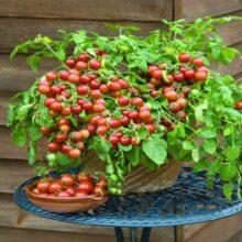 Tomato Cherry Fall Seeds heirloom Vegetable Seeds