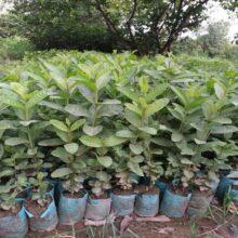 Guava Plant China Gola 1+feet LIVE PLANT BY HAMZA EXPRESS