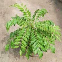 Curry Patta Plant ( Live Plant) 1 feet