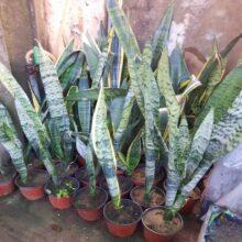 Snake Plant Variegated