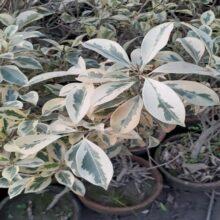 Star Ficus Plant