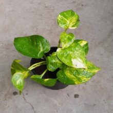 Money Plant Variegated Leaf Up-Shoot