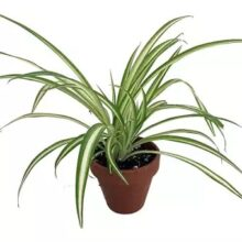 Spider Plant Variegated